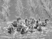 6月 泳ぐ合鴨